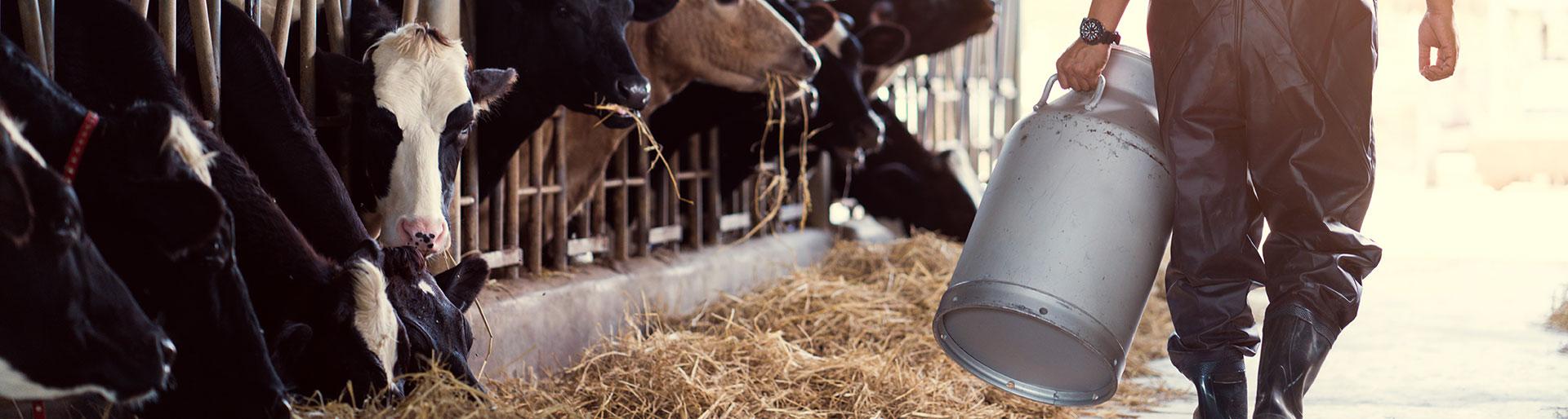 BPA TPA - Homme avec des vaches