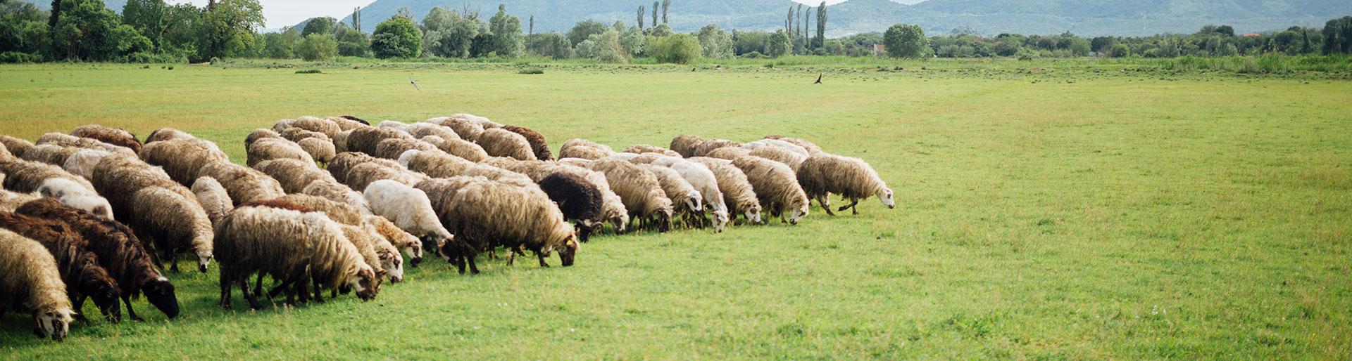 troupeau agneaux